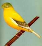 norwich yellow crested canary