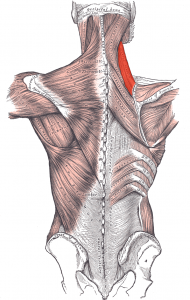levator scapulae muscle